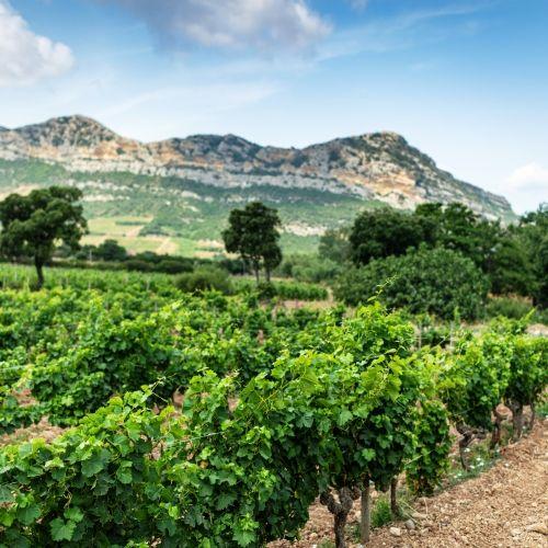 Un vignoble dans la région viticole du nord de la Corse