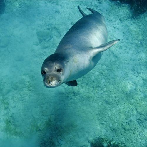 Un phoque moine dans les eaux de la Méditerranée