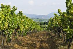 Un sentier au milieu des vignes de Provence