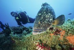 Plongée sous-marine avec un mérou dans les îles Lavezzi en Corse